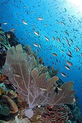 Seafan gorgonia.jpg
