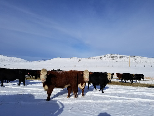 Registered Herefords