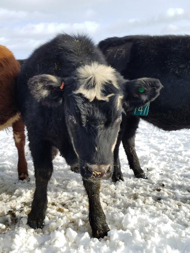 Black Baldy Heifer