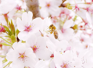 flowers_sakura.jpg