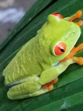 Tico frog