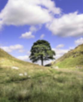 ROBIN HOOD TREE (2).png