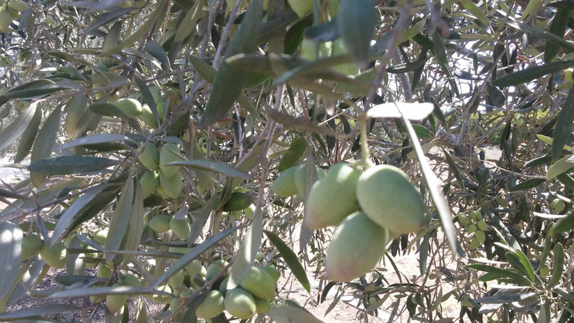 ענף עם זיתים מזן אסקל