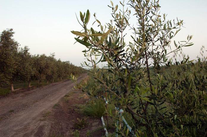 עץ ברנע צעיר