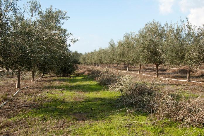 חלקת עצי קורטינה בזמן הגיזום