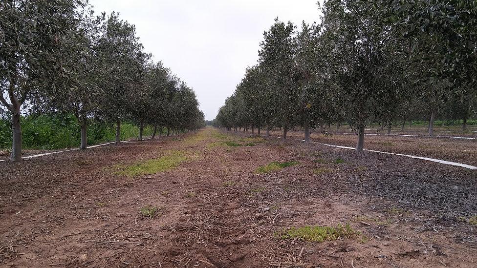 מבט מתוך הכרם על שורות עצי זית מזן אסקל