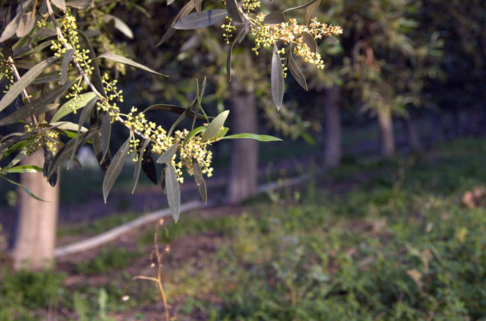 פריחה בעץ הזית