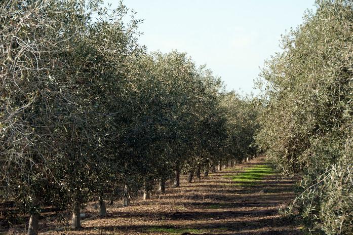 שורות עצי זית מזן אסקל