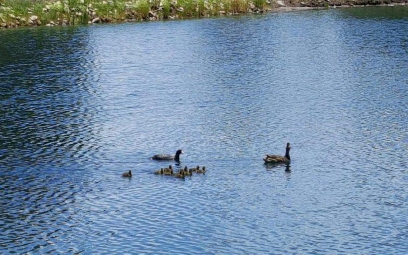 Ducks-2-1-1024x576-800x500.jpg