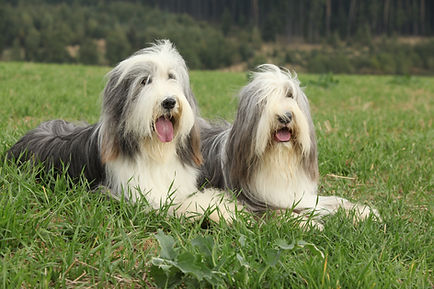 Two amazing bearded collies lying in the