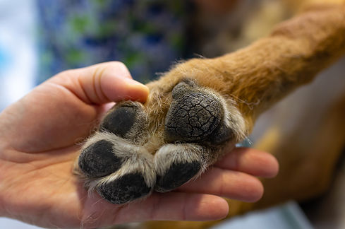 Veterinarian showing the paw of a german