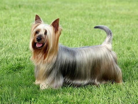 Australian Silky Terrier on the green gr