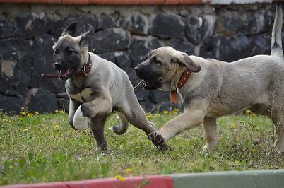 The Sivas Kangal Dog Anatolian Shepherd
