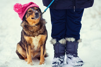 Dog wearing knitted hat with pompom walking with owner outdoor snowy in winter.jpg
