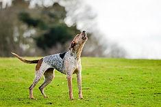 American English Coonhound.jpg
