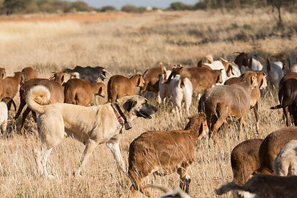 A Kangal livestock guarding dog roams in