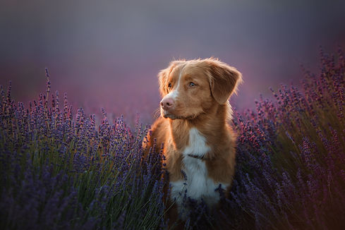 a dog in the colors of lavender, a dog o