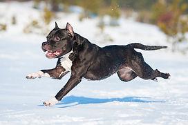 American staffordshire terrier dog runni