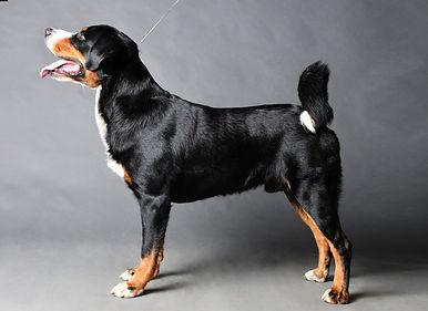 Appenzeller sennenhund on a dark backgro