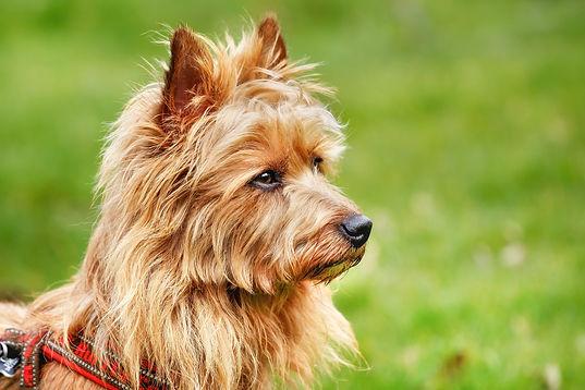 Pured Australian Terrier dog outside on