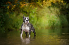 Dog standing in water Blue American staf
