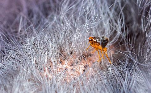Flea in animal fur close up. The destruc