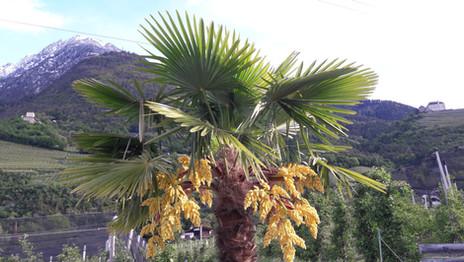 Palmenblüte und Schnee.jpg