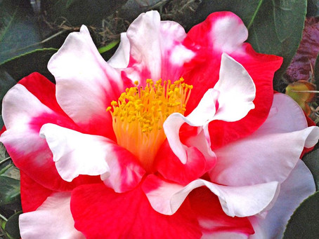Camellia Walking Tour at Harry P. Leu Gardens