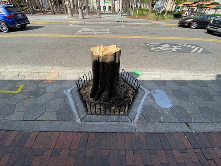 3 Trees Cut Down by City Will be Replaced as Part of Sidewalk Improvements