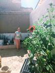 crecen los girasoles en el verano.jpg