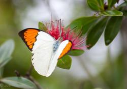 butterfly lightroom-4