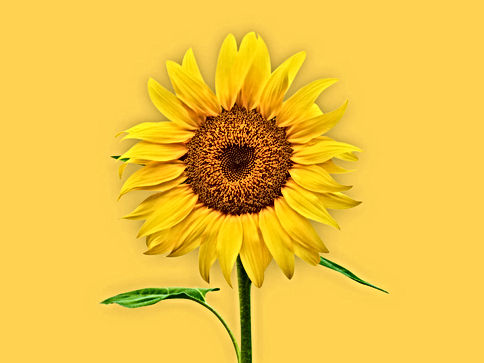 sunflower-1408x1056-1024x768.jpg