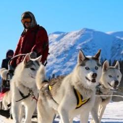 Musher|Yukon|Boreal Kennels