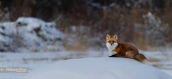 Wildlife|Yukon|Borealkennels