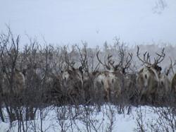 Winter Wildlife|Yukon|Borealkennels