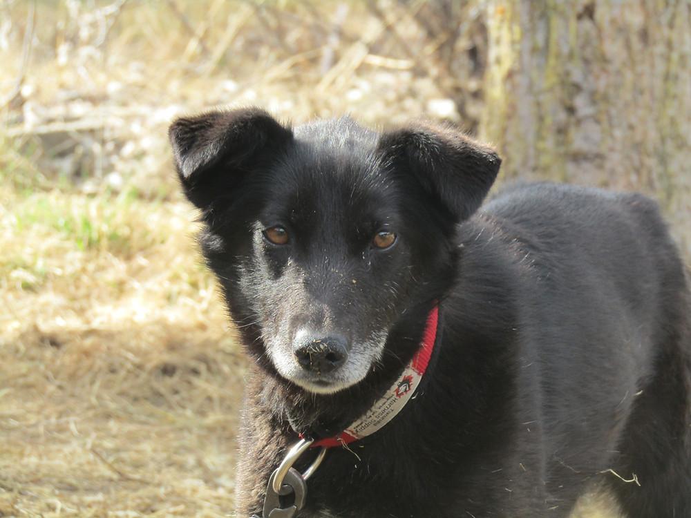 Koluk the Alaskan Husky