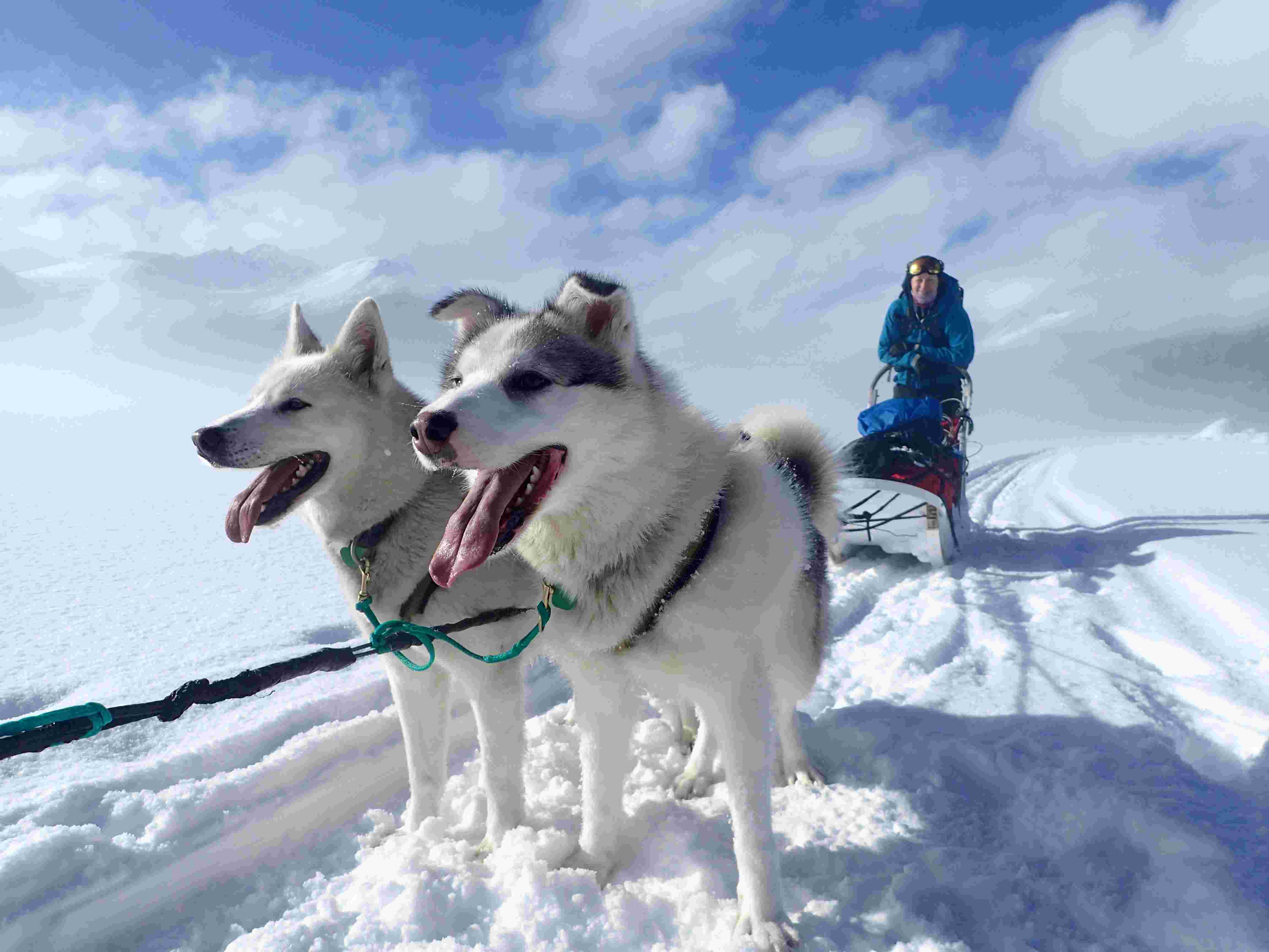 Husky|Yukon|Boreal Kennels