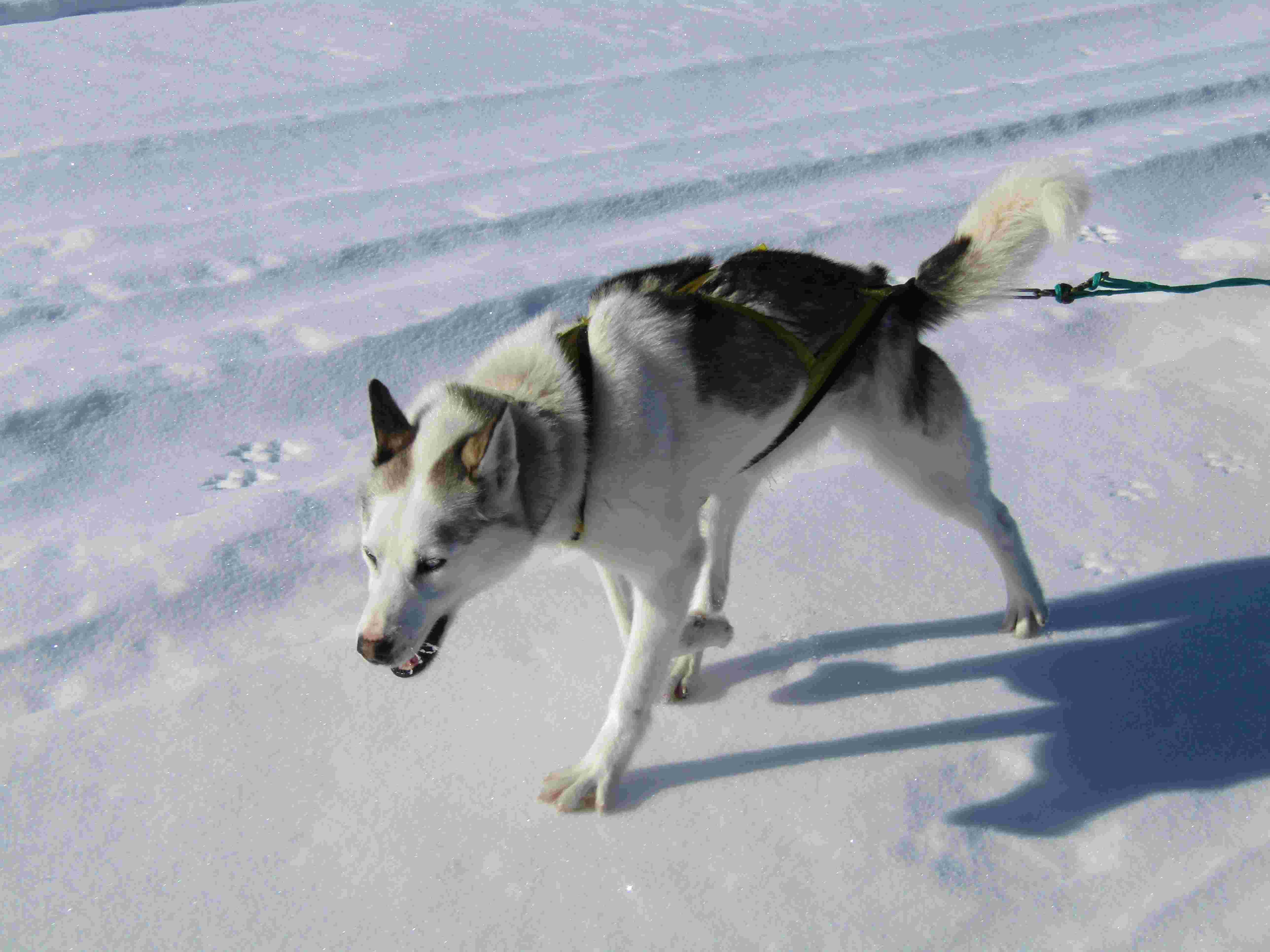 Huskies|Yukon|Boreal Kennels