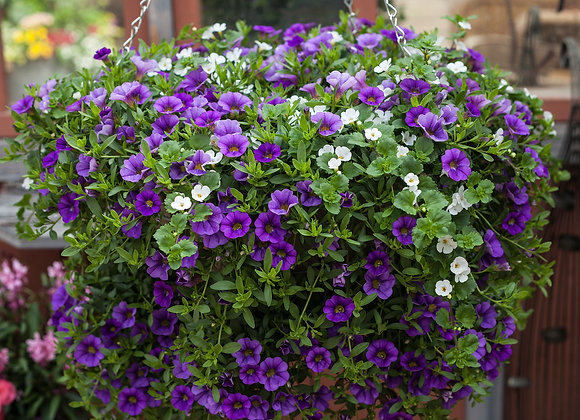 "Blue with Bacopa, 14"" Superbell Wire Basket"