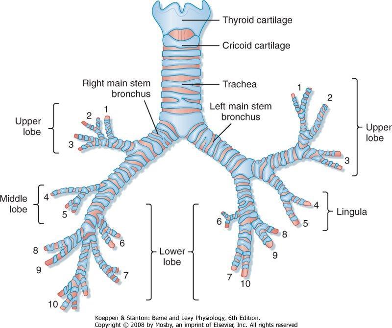 Trachea Thyroid Cricoid bronchus upper lobe Middle lobe lower lobe lingula