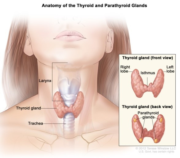 All about Thyroid know anatomy trachea
