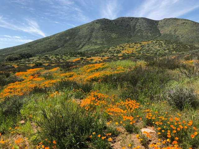 Reserve Poppy Landscape.jpg