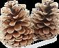 pine cones.png