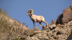 Big horn at Cahuilla