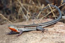 Orange throated whiptail lizard.jpg