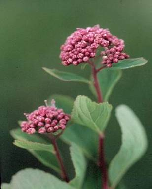 Mountain Spirea