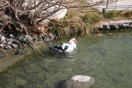 duck at lake.jpg