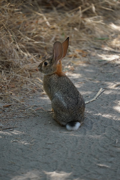 Rabbit on the trail at Hidden Valley
