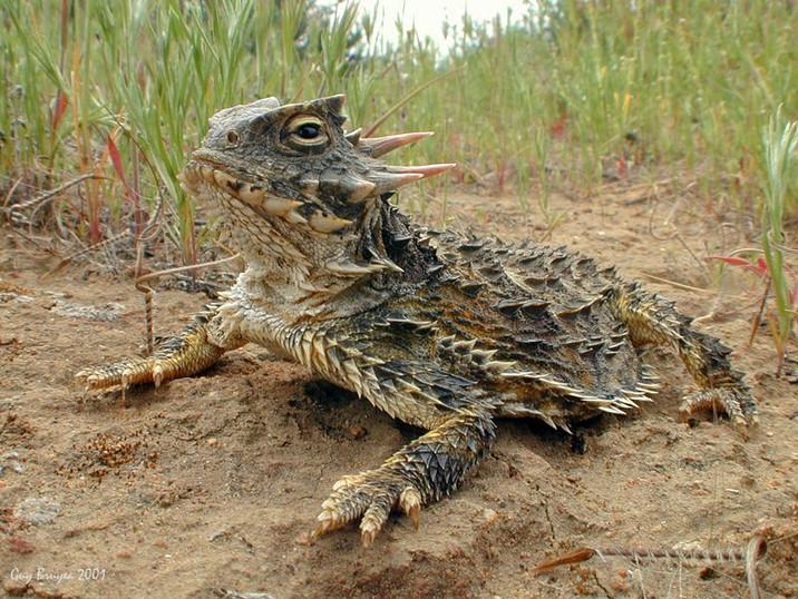 San Dieogo Horned Lizard.jpg