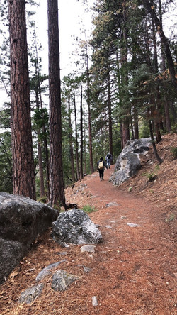 Majestic pines on the trail